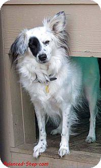 Border Collie/Papillon Mix Dog for adoption in Seattle c/o Kingston 98346/ Washington State, Washington - Curly