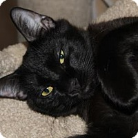 Adopt A Pet :: Cornelius - Menands, NY