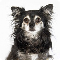 Chihuahua Dog for adoption in St. Louis Park, Minnesota - Mabel
