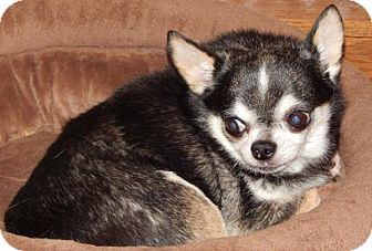 Chihuahua Dog for adoption in Anderson, South Carolina - Guy