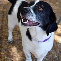 Adopt A Pet :: Cupcake - Atlanta, GA