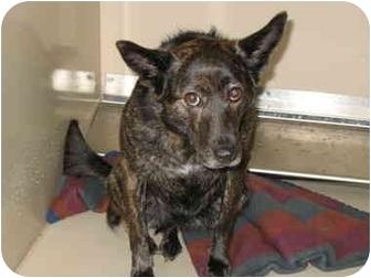 Australian Kelpie/Basenji Mix Dog for adoption in South Lake Tahoe, California - Paige
