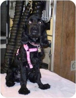 Cocker Spaniel Dog for adoption in Westport, Connecticut - BJ