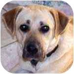 Labrador Retriever Mix Dog for adoption in Pittsboro/Durham, North Carolina - Mollie