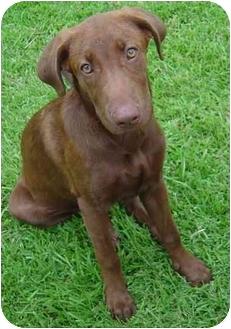 Labrador Retriever Puppy for adoption in Haughton, Louisiana - Mocha