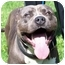 Photo 1 - American Pit Bull Terrier Dog for adoption in Hermosa, California - IcyBlue Chuck