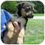 Photo 2 - American Bulldog/Rottweiler Mix Puppy for adoption in Mahwah, New Jersey - Jesse