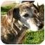 Photo 1 - Catahoula Leopard Dog/Labrador Retriever Mix Dog for adoption in Berkeley, California - Agnes