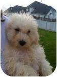 Bichon Frise Puppy for adoption in Lonedell, Missouri - yellow