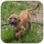 Photo 2 - Labrador Retriever/Beagle Mix Puppy for adoption in Windham, New Hampshire - Becks