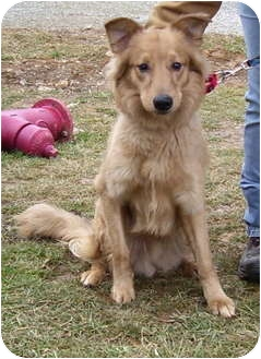 Golden Retriever/Collie Mix Dog for adoption in Somerset, Pennsylvania - Harley