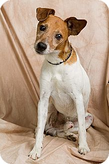 Rat Terrier Mix Dog for adoption in Anna, Illinois - ROE