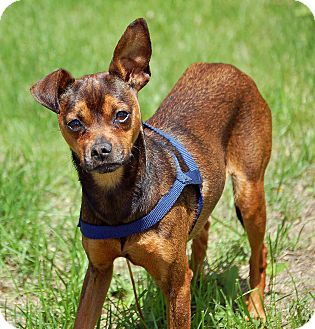 Miniature Pinscher/Rat Terrier Mix Dog for adoption in Mora, Minnesota - Coco
