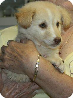 Border Collie Mix Puppy for adoption in Winnipeg, Manitoba - Brie
