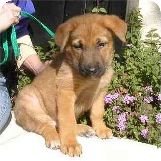 Shepherd (Unknown Type) Mix Puppy for adoption in Berkeley, California - Red