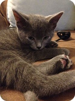 Russian Blue Kitten for adoption in Long Beach, New York - Dimitri