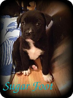 Labrador Retriever/Terrier (Unknown Type, Medium) Mix Puppy for adoption in Denver, North Carolina - Sugar Foot