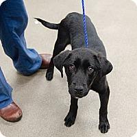 Adopt A Pet :: Guinness - Cumming, GA