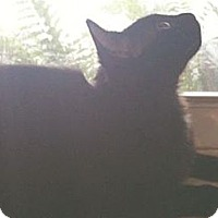 Domestic Mediumhair Kitten for adoption in Miami, Florida - Arianna
