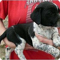 Adopt A Pet :: Izzy - Harrison, AR