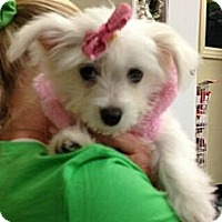 Adopt A Pet :: Puff - Encinitas, CA