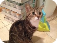 Domestic Shorthair Cat for adoption in East Hanover, New Jersey - Sugar