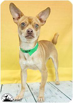 Chihuahua/Pug Mix Dog for adoption in Phoenix, Arizona - Scout