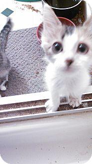 Calico Kitten for adoption in Scottsdale, Arizona - Gizmo's sister