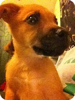 German Shepherd Dog/Labrador Retriever Mix Puppy for adoption in Greenfield, Wisconsin - LILLY