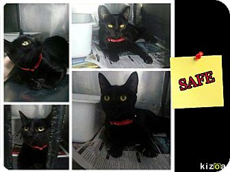 Domestic Shorthair Cat for adoption in THORNHILL, Ontario - BACARDI