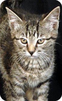 Domestic Shorthair Kitten for adoption in Newland, North Carolina - Thomas