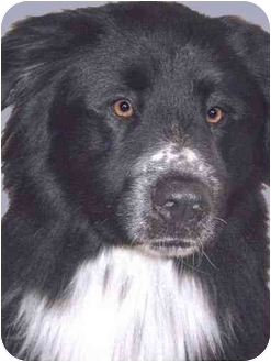 Newfoundland/Border Collie Mix Dog for adoption in Grass Valley, California - Bernie