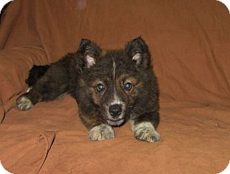 Australian Shepherd/Chow Chow Mix Puppy for adoption in Ashburn, Virginia - Rosa