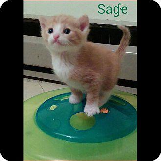 American Shorthair Kitten for adoption in Zanesville, Ohio - Sage