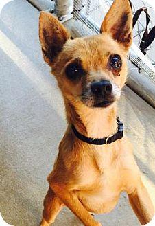 Chihuahua Mix Dog for adoption in Columbus, Georgia - Baby Boy 9677