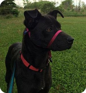 Labrador Retriever Mix Dog for adoption in New Richmond,, Wisconsin - Vinnie