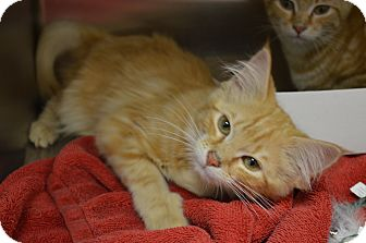 Domestic Longhair Kitten for adoption in Toast, North Carolina - Penny