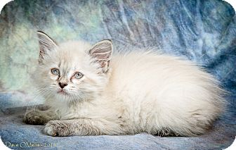 Siamese Kitten for adoption in Anna, Illinois - SHIN SU