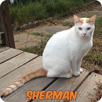 Domestic Mediumhair Cat for adoption in Conway, Arkansas - Sherman