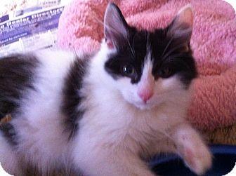 Maine Coon Kitten for adoption in Cerritos, California - Saphari