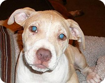 American Staffordshire Terrier Mix Puppy for adoption in San Antonio, Texas - Anna Banana