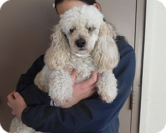 Miniature Poodle/Dachshund Mix Dog for adoption in Sacramento, California - Ziggy