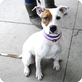 American Staffordshire Terrier Mix Dog for adoption in Detroit, Michigan - Reily-Adopted!