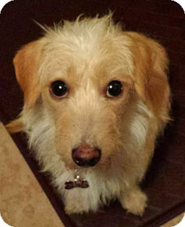 Dachshund/Terrier (Unknown Type, Small) Mix Dog for adoption in Encino, California - Winter