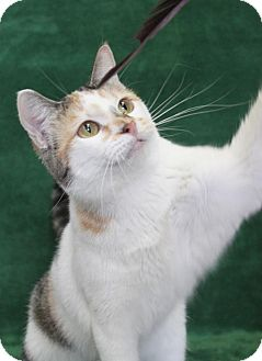 Domestic Shorthair Cat for adoption in Wichita, Kansas - Toffee