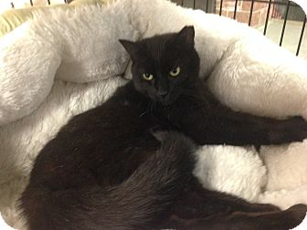 Domestic Shorthair Cat for adoption in Bear, Delaware - Drools
