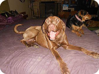 Labrador Retriever Dog for adoption in North Jackson, Ohio - Cadbury