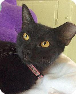 Domestic Shorthair Cat for adoption in Breinigsville, Pennsylvania - Felicia