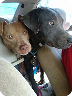 American Staffordshire Terrier/American Pit Bull Terrier Mix Dog for adoption in Covington, Tennessee - Mama