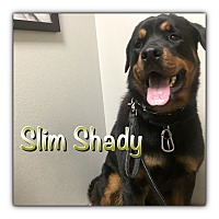 Adopt A Pet :: Slim Shady - Gilbert, AZ